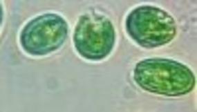Algues unicellulaires cultivées