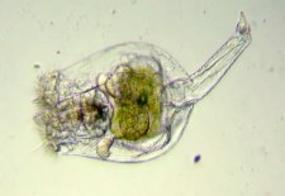 Rotifère (de 50 à 150 µm)
