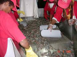 Tri des crevettes lors de la peche