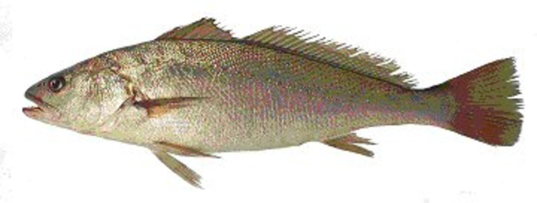combien pese un maigre poisson