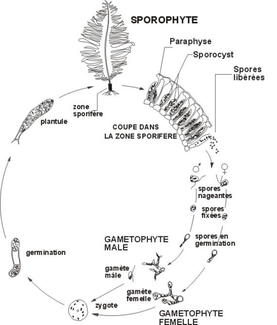 Cycle biologique d'Undaria pinnatifida