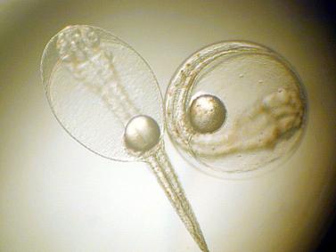 Oeuf et larve d'ombrine en cours d'évolution