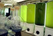 Cylindres de culture d'algues de 300 litres en ecloserie
